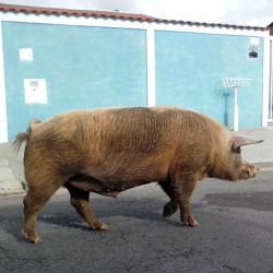 porcos-2